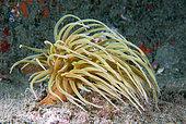 Snakelocks anemones (Anemonia sulcata). Marine invertebrates of the Canary Islands, Tenerife.