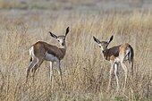 Young springboks (Antidorcas marsupialis), in high dry grass, Etosha National Park, Namibia, Africa