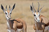 Springboks (Antidorcas marsupialis), adult and young, Kgalagadi Transfrontier Park, Northern Cape, South Africa, Africa