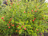 Punica granatum 'Flore Pleno'