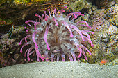 TELMATACTIS ANEMONE (Telmatactis cricoides). It can reach 30 cm in diameter and has a highly variable coloration (up to 30 different color patterns have been recorded. Its tentacles are stinging. Seabed of the Canary Islands, Tenerife.