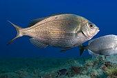 Black seabream (Spondyliosoma cantharus). Fish of the Canary Islands, Tenerife.