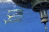 Mahi mahi - Common dolphinfish (Coryphaena hippurus). Tenerife, Canary Islands.