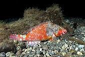 Parrotfish -female- (Sparisoma cretense) sleeping at night. Fish of the Canary Islands, Tenerife.