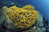 Golden sponge (Verongia aerophoba). Marine invertebrates of the Canary Islands, Tenerife.