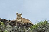 Lionceau (Panthera leo), sur un kopje connu sous le nom de Lion Rock dans la réserve de Lualenyi, Tsavo, Kenya.
