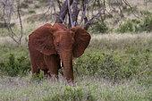 Eléphant d'Afrique (Loxodonta africana) jeune mangeant, Tsavo, Kenya.