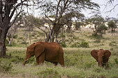 An African elephant, Loxodonta africana, and its young, feeding, Tsavo, Kenya.