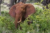 Eléphant d'Afrique (Loxodonta africana) mangeant, Tsavo, Kenya.