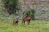 Two warthogs, Phacochoerus africanus, standing at looking at the camera, Tsavo, Kenya.
