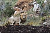 Lion mâle (Panthera leo), sur un kopje connu sous le nom de Lion Rock dans la réserve de Lualenyi, Tsavo, Kenya.