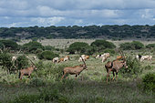 East African oryx, Oryx beisa, known also as Beisa oryx, passing by a cattle herd illegaly grazing in the Tsavo West National Park, Kenya.