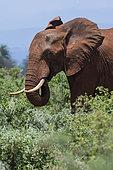 African elephant (Loxodonta africana) eating, Tsavo, Kenya.