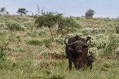 African buffalo (Syncerus caffer) and its calf, Tsavo, Kenya.