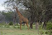 Girafe (Giraffa camelopardalis), Tsavo, Kenya