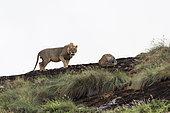Lion mâle à crinière courte (Panthera leo), sur un kopje connu sous le nom de Lion Rock dans la réserve de Lualenyi, Tsavo, Kenya.
