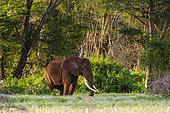 An African elephant (Loxodonta africana), walking in a forest, Tsavo, Kenya.