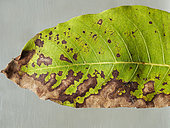 On top, brown, rounded Botryosphaeria spots on walnut leaf. Bottom: spots in extension. Montpellier July 6, 2019 -