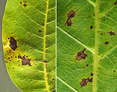 Xanthomonas bacterial stains on walnut leaves, with yellowish halos around the edges. Montpellier, July 6, 2019