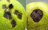 Noix atteintes par la Nécrose apicale brune (BAN) de la bactérie Xanthomonas arboricola, provoquant des taches en légère dépression. Les bactéries pénètrent souvent dans la noix par les stigmates. Céret P.O. le 23.07.2019 France