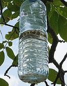 Bouteille piège installée à Varacieux sous un noyer avec les mouches Rhagoletis capturées, Isère, France. le 12.09.2019