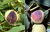 Nécroses apicales brunes (BAN) dues à la bactérie Xanthomonas arboricola.. Le 31.07.2019- Crespià - Espagne -