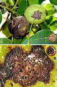 A - Nuts and leaves affected by the fungus Ophiognomonia leptostyla. (arrow) The nut on the left is close to its fall. B - Close-up of the stain which already shows acervuli (black spots) on July 12, 2019 - Banyuls sur mer - France - 12.07.2019 -