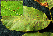 Contamination points on walnut leaf. In the insert, part of the leaf enlarged. July 12, 2020 - Le Houga - Gers - France