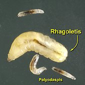 Walnut husk fly (Rhagoletis completa) and Frit Fly (Polyodaspis sp) maggots