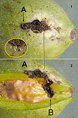 1 - A: Gallery entrance with crumbs rejected by the caterpillar. In the circle, 7 chorions deposited by a Polyodaspis fly. 2 - After removal of the brou, the path from A to B is visible, B being the area where the caterpillar entered the shell. Varacieux - Isère - France - the 16.09.2018 -