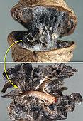 Les soies de chenille(s) marquent une importante dégradtion des cerneaux; c'est seulment en les sortant que nous trouvons la chenille responsable : Plodia interppunctella toujours en place. Les cerneaux sont détruits. Crespia le 9 mai 2019.