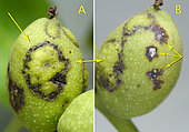 A - Aureoles of contamination by the fungus Aureobasidium pullulans. B - On the same nut, another contamination by Ophiognomonia leptostyla. (arrows) - Mormès, Gers, France, 09.06.2019 -