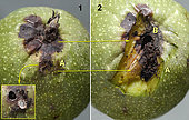 1 - A - The entrance hole of the gallery was masked by an operculum (in the insert). 2 - Same walnut: After removal of the husk, the gallery dug by the caterpillar appears between A and B, as well as the hole in the joint towards the kernels, plus a few crumbs. Céret August 10, 2019 -