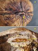 A. Emergence d'un papillon Plodia interpucntella d'une noix - B. Chrysaliide d'où est sorti le papillon. Crespià, Espagne, le 16.08.2019