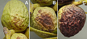 A - Beginning of contamination by the fungus Botryosphaeria. with small scattered light brown spots. B - Expanding spots. C - 50% of the nut is affected, in constant progression, Crespia, Spain, August 25, 2019.