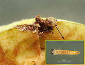 Apple cut to see the gallery that this small Plodia interpunctella caterpillar was digging: length 2 mm. May 31, 2020- St Génis des Fontaines, France