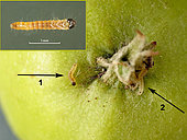 The stigmas of the flower are often the area chosen by the small caterpillars to penetrate the apple. Here two caterpillars try to pierce the cuticle. ( Apple 3 cm in diameter) St Génis des Fontaines. May 20, 2020.