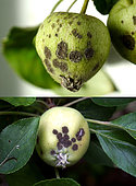 Scab spots on young apples of 3 to 4 cm, caused by the fungus Venturia inaequalis - St Génis des Fontaines - France - May 30, 2020 -