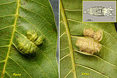 Upper and lower side of walnut leaf with mite scab Aceria erinea. (Length about 100 µm) Saint Avit Rivière - Dordogne - France