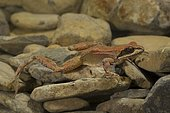 Pyrenean Frog (Rana pyrenaica) at the bottom of a stream, Central Pyrenees, Aragon, Spain, Europe