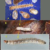 Trois stades de chenilles Ectomyelois ceratoniae: A.1 Chorion vide et sortie de l'oeuf. La chenille mesure 1,5 mm de long à la sortie de l'oeuf. B. juvénile - C. chenille adulte.