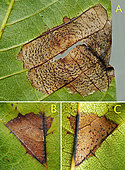 A - Reverse side of leaf with a stain loaded with numerous acervuli of Ophiognomonia leptostyla. B - Top of leaf with some acervuli. C - Reverse side of the same leaf loaded with acervuli. - Banyuls sur mer, France, July 5, 2019 -