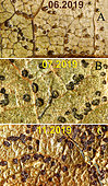 Macrographs of the evolution of the acervuli under a walnut leaf: A - 10 June 2019: Formation of pustules. B - July 20, 2019 : Pustules emit sporiferous jelly. C - November 2019, the pustules have become black, flat acervuli, before the pustules are formed.
