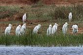 Héron garde-boeufs (Bubulcus ibis) sur la rive du lac Gipe, Tsavo, Kenya.