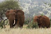 Eléphant d'Afrique (Loxodonta africana) marchantdans la savane, Tsavo, Kenya