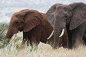 Two African elephants, Loxodonta africana, one of them red for the colour of the Tsavo's soil, Tsavo, Kenya.