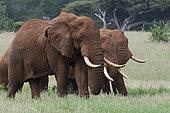 Eléphant d'Afrique (Loxodonta africana) dans la savane, Tsavo, Kenya