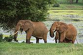 Eléphant d'Afrique (Loxodonta africana) sur la berge, Tsavo, Kenya