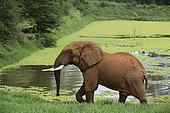 Eléphant d'Afrique (Loxodonta africana) sortant de l'eau, Tsavo, Kenya