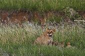 Lion (Panthera leo) groupe dans les herbes, Tsavo, Kenya